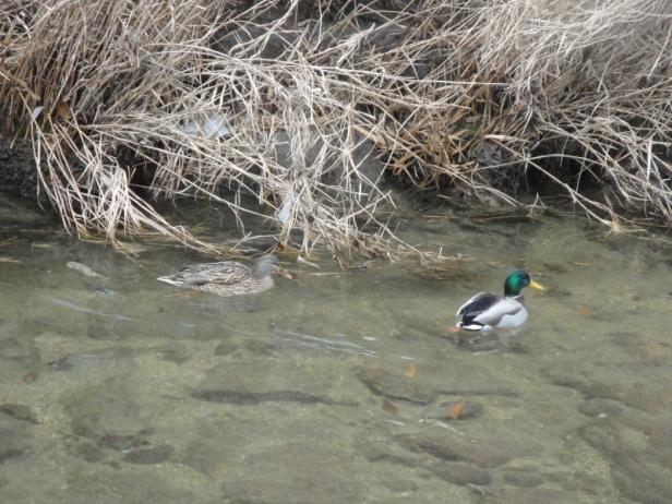 Cheonggyecheon Stream Ducks