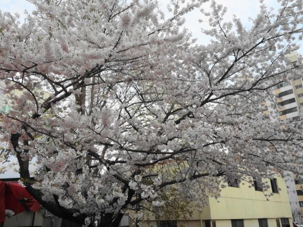 Cherry Blossom Incheon South Korea 2013 1