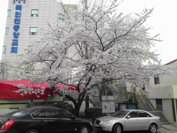 Cherry Blossom Incheon South Korea 2013 10