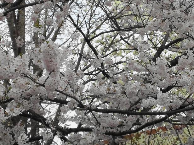 Cherry Blossom Incheon South Korea 2013 2