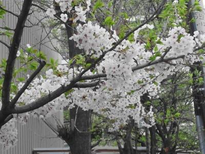 Cherry Blossom Incheon South Korea 2013 3