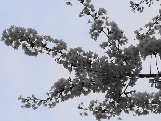 Cherry Blossom Incheon South Korea 2013 4