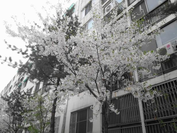 Cherry Blossom Incheon South Korea 2013 5