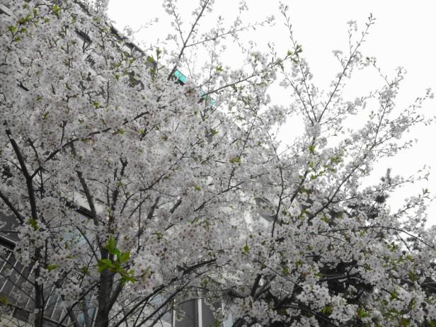 Cherry Blossom Incheon South Korea 2013 6