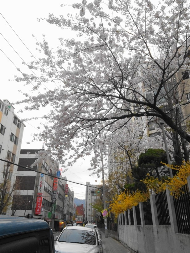 Cherry Blossom Incheon South Korea 2013 8