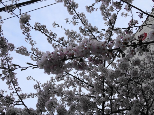 Cherry Blossom Incheon South Korea 2013 9