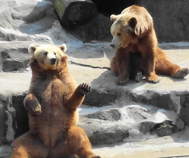 Waving Bear at Seoul Zoo