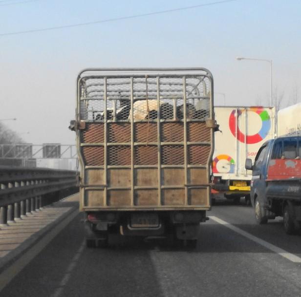 Dairy Cows Gyeongin Expressway Incheon