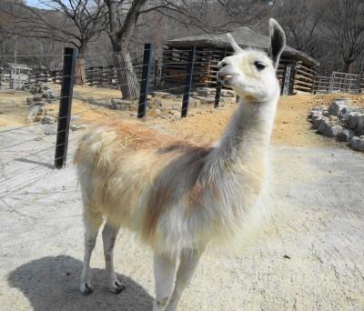 Llama at Seoul Zoo