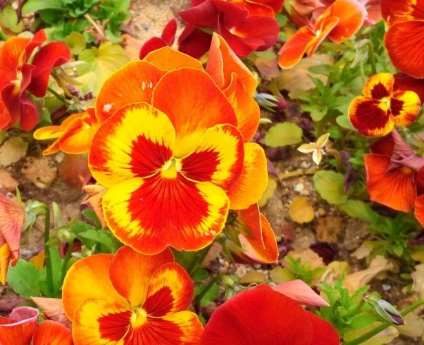 Bucheon City Hall Flowers Orange Pansies