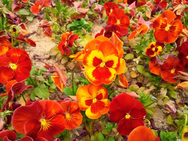 Bucheon City Hall Flowers Pansies