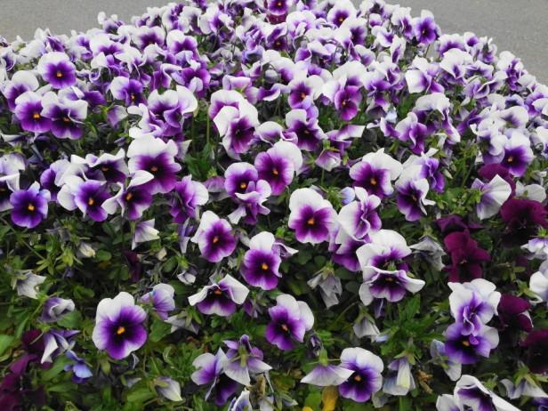 Bucheon City Hall Flowers Purple Pansies