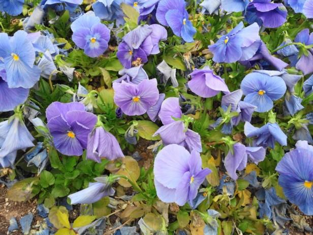 Bucheon City Hall Flowers Sky Blue Pansies