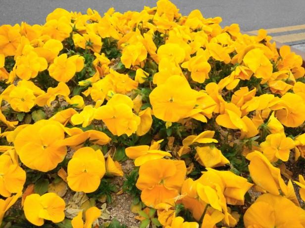 Bucheon City Hall Flowers Yellow Pansies