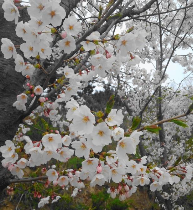 Wolmido Island Incheon Cherry Blossom Close