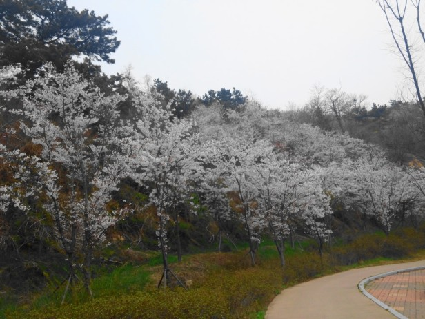 Wolmido Island Incheon Cherry Blossom Park
