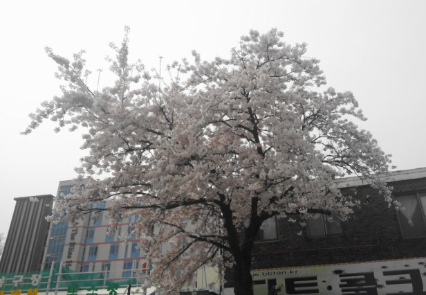 Wolmido Island Incheon Cherry Blossom