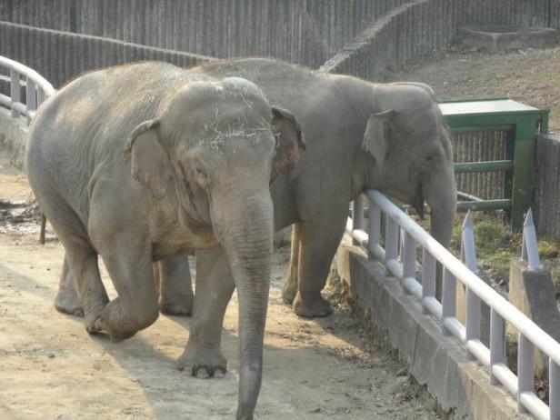 Seoul Zoo Elephants