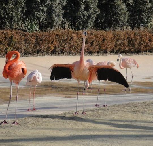 Seoul Zoo Flamingo