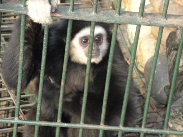 Seoul Zoo Gibbon  Monkey