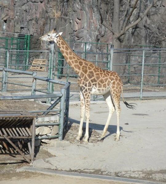 Seoul Zoo Giraffe