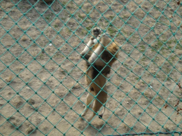 Seoul Zoo Jumping Lion