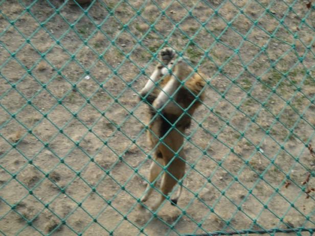 Seoul Zoo Jumping Lion