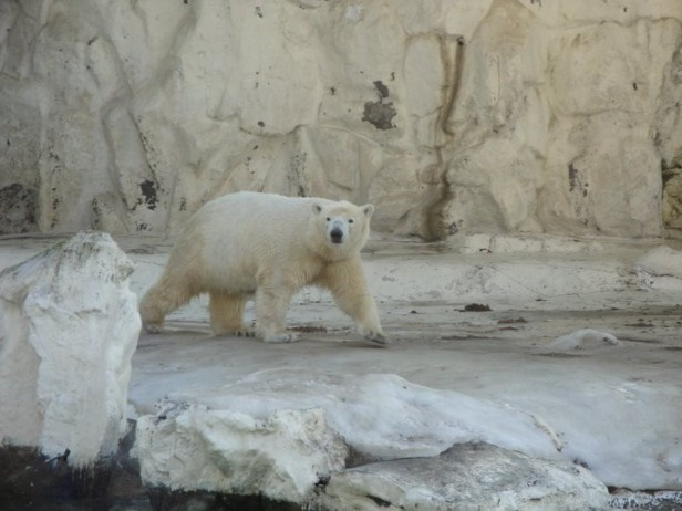 Seoul Zoo Polar Bear