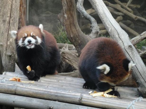 Red Panda feeding time