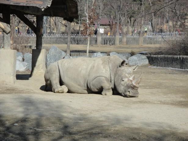 Seoul Zoo Rhino