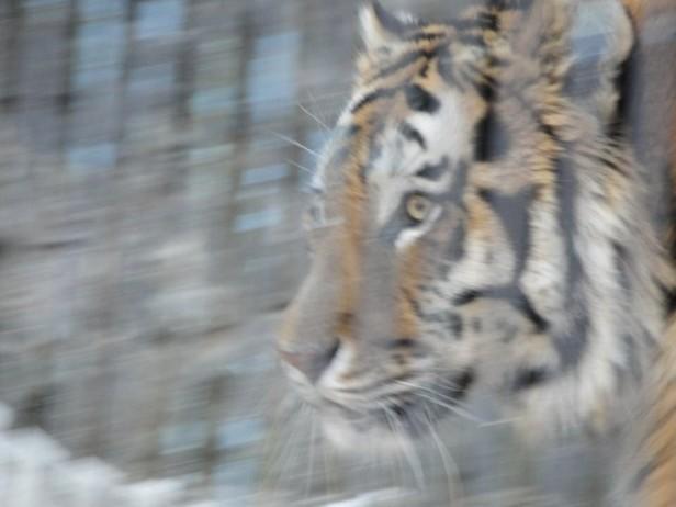 Seoul Zoo Tiger