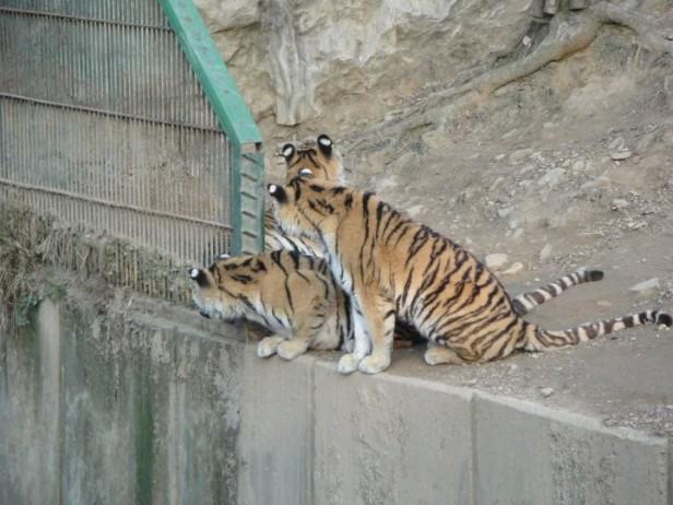 Seoul Zoo Tigers