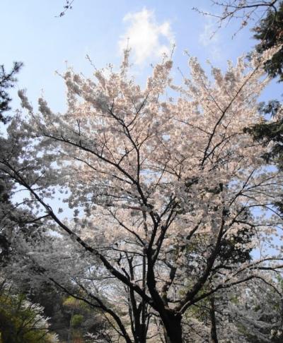 Big Korean Cherry Blossom Tree Seoul Forest