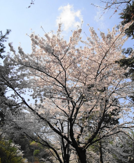 Big Korean Cherry Blossom Tree Seoul Forest