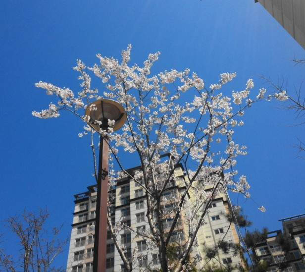 Cheongna Incheon Cherry Blossom 2015 bluesky