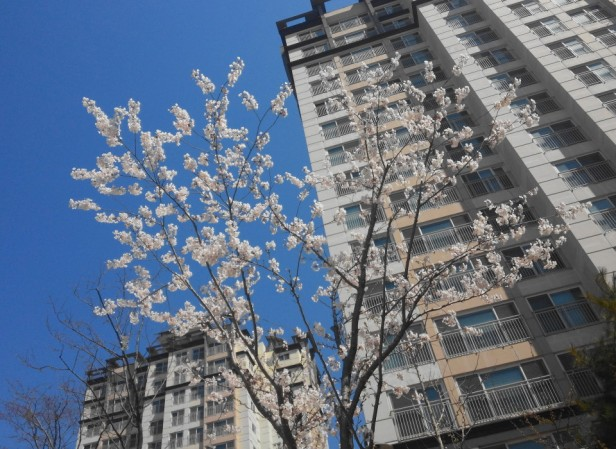 Cheongna Incheon Cherry Blossom 2015 flower