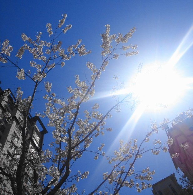 Cheongna Incheon Cherry Blossom 2015 sun