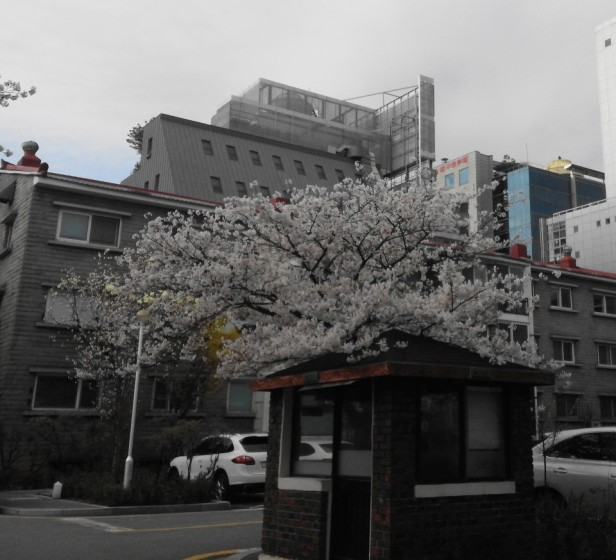 Seoul Gangnam Cherry Blossom 2015 apt