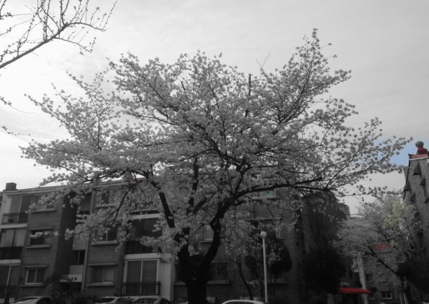Seoul Gangnam Cherry Blossom 2015 big