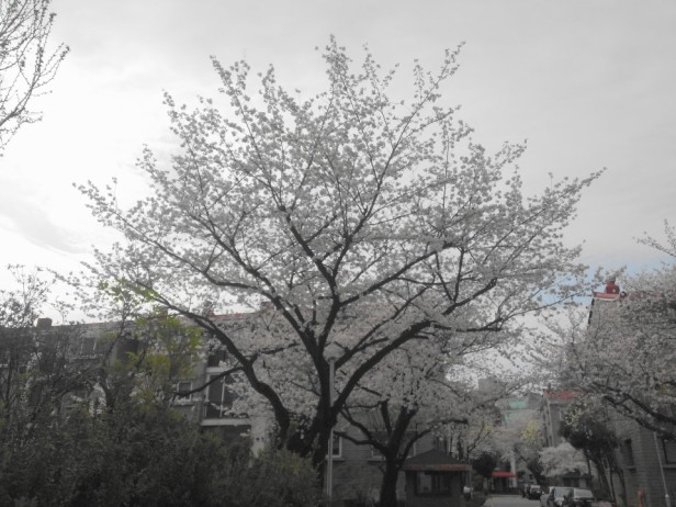 Seoul Gangnam Cherry Blossom 2015 bloom
