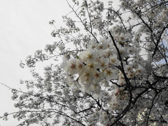 Seoul Gangnam Cherry Blossom 2015 closeup