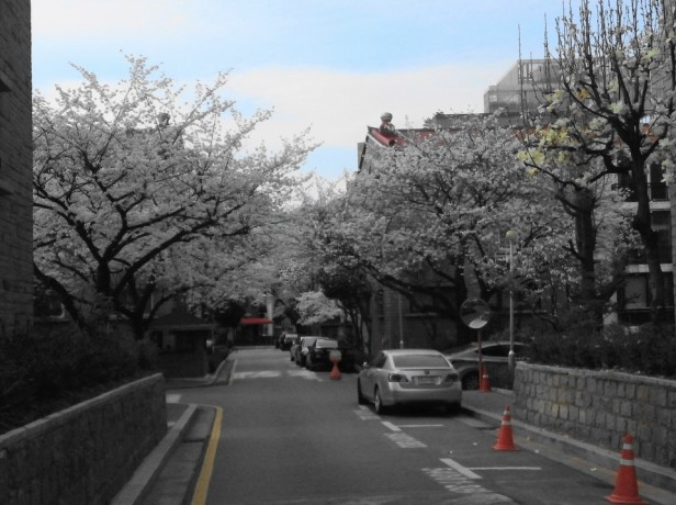 Seoul Gangnam Cherry Blossom 2015 Street
