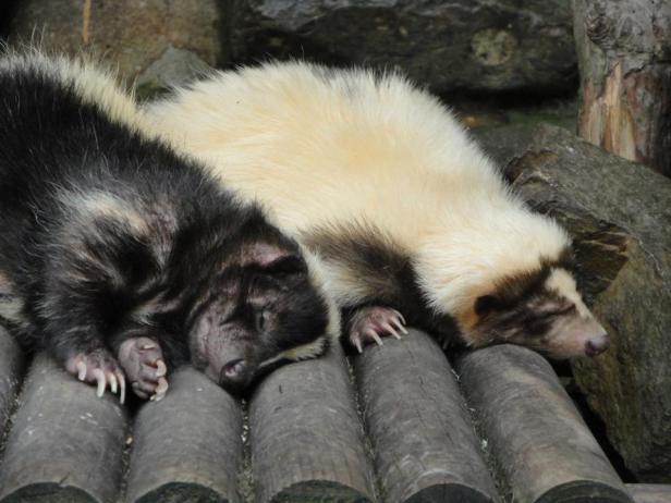 Sleeping Skunks at Seoul Zoo