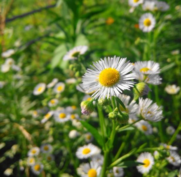 Sunny Daisy Growing in Gyesan Korea