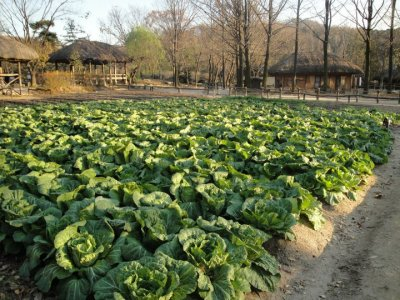 Cabbage Farm Korean Folk Village Suwon