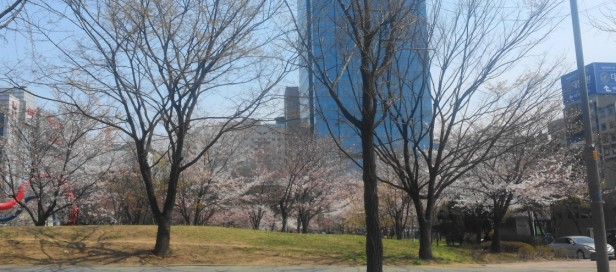 cherry blossom korea 2016 Incheon City Hall