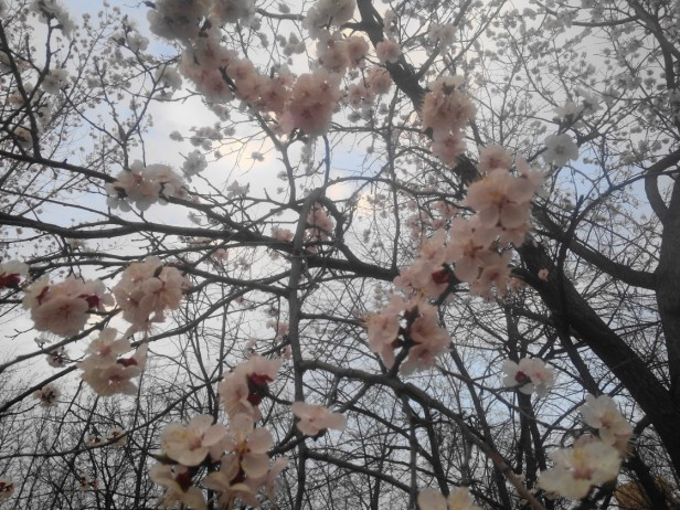cherry blossom korea 2016 seoul